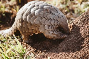 Cory the pangolin - an incredible shoot and media release about her story at Manyoni - visit our news section for more.