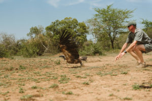 White-Backed Vulture Tagging with Wildife ACT
