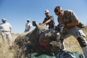Rhino Dehorning on Spioenkop